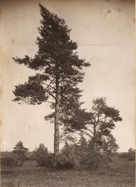 Ashdown Forest: Pine trees, 1908