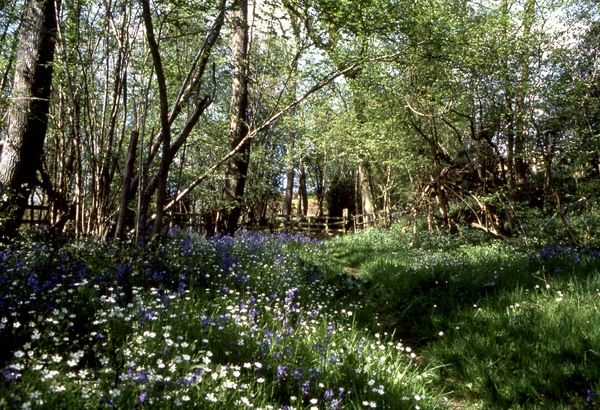 Wood anemones and bluebells in a wood near Petworth